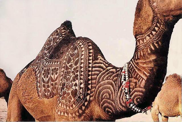 arte em camelos